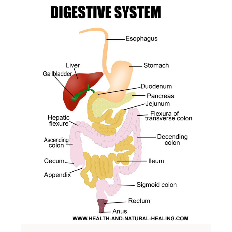 pic of the digestive system for your constipation home remedy